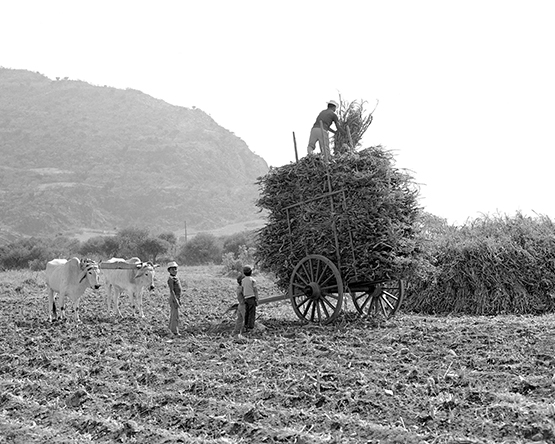 Loading corn stalks to take home, Mexico 1970 (Walt Girdner photo)