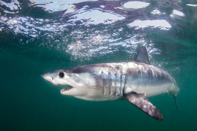 A mako shark swims in the Atlantic Ocean off Rhode Island. Countries have agreed to protect more than a dozen shark species at risk of extinction, in a move aimed at conserving some of the ocean's most awe-inspiring creatures who have themselves become prey to commercial fishing and the Chinese appetite for shark fin soup. Three proposals covering the international trade of 18 types of mako sharks, wedgefishes and guitarfishes each passed with a needed two-thirds majority in a committee of the World Wildlife Conference known as CITES on Sunday, Aug. 25, 2019. (Matthew D Potenski/The Pew Charitable Trusts via AP)