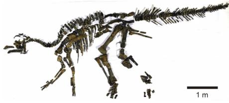 The nearly complete skeleton ofKamuysaurus japonicus. (Image: Y. Kobayashi et al., 2019/Scientific Reports)