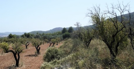 An overgrown and abandoned almond orchard lies next to an almond orchard that is carefully looked after near Alcalalí, a town in the province of Alicante, Spain. The lethal Xylella fastidiosa bacterium is killing almond trees in this part of Spain. The bacterium is considered one of the most dangerous threats to Europe's crops. (Photo by CAIN BURDEAU/Courthouse News Service)