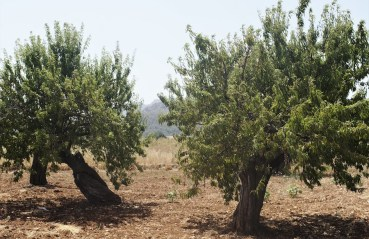Two large almond trees near Xaló, Spain, appear healthy but are under threat from a lethal Central American bacterium called Xylella fastidiosa. The bacterium is killing almond trees in this part of Spain and olive trees in Italy. The bacterium is considered one of the most dangerous threats to Europe's crops. (Photo by CAIN BURDEAU/Courthouse News Service)