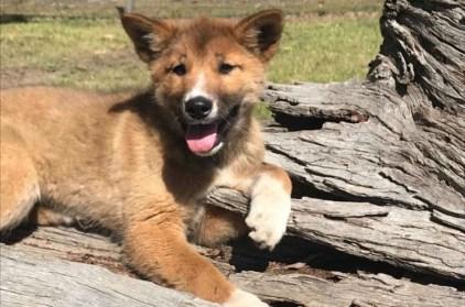Wandi the dingo.(Australian Dingo Foundation via Instagram)
