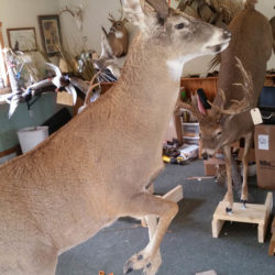 Mehlhop Four Season Taxidermy (114)