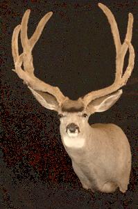 Mehlhop's Four Seasons Taxidermy - Deer Head