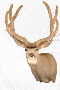Mehlhop's Four Seasons Taxidermy - Deer Head