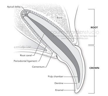 canine dental anatomy