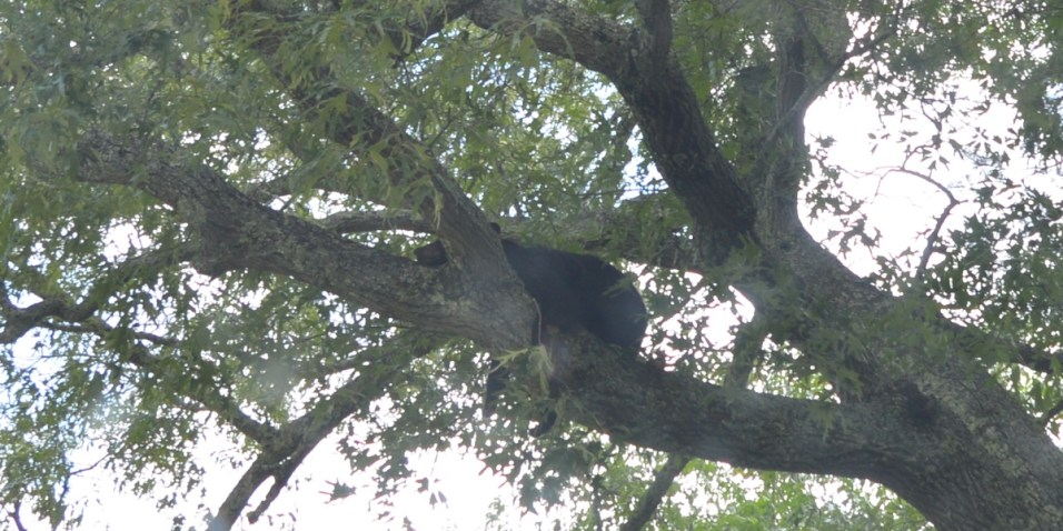 Black bear taking a rest in the tree on Cades Cove Loop
