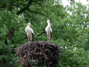 Storche im Naturzoo Rheine