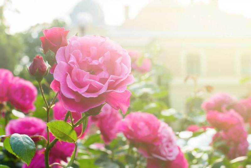 Rose gardening in kent beautiful sunlit roses