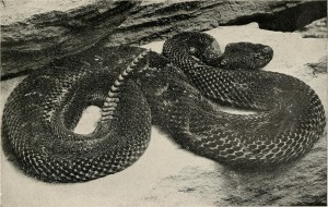 TIMBER RATTLESNAKE, Crotalus horridus. From the reptile book, by Raymond Lee Ditmars, 1915.