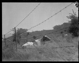 Barbed wire and cattle, courtesy of the Boston Public Library, Leslie Jones Collection