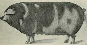 "Image of a hog, from ""Diseases of Swine,"" 1914, by Charles F. Lynch, page 23"