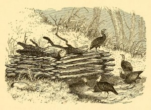 Engraving of wild turkeys, from American Sportsman: Containing Hints to Sportsmen, Notes on Shooting, etc, by Elisha L. Lewis, M.D., and Arnold Burgess, 1885, page 181