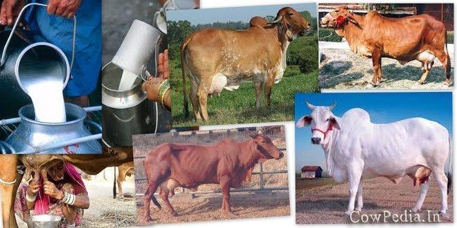 Milking Indian Desi Cows