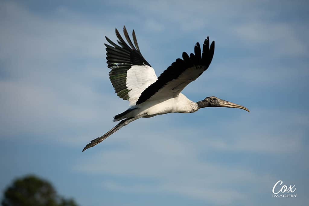 Flying Wood Stork at Huntington