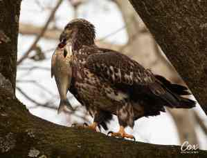 Right Place Right Time: Juvenile Eagle
