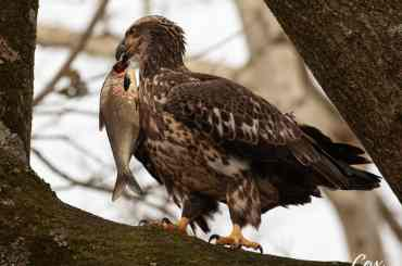 Right Place Right Time Juvenile Eagle