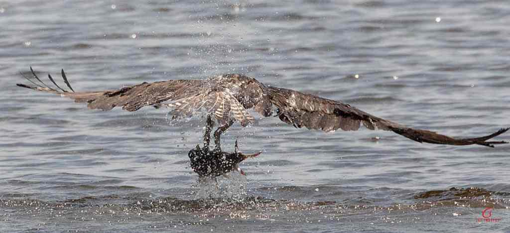 blackwater nwr osprey splash