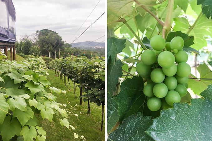 As vinhas de seu Olivardo Saqui na Quinta do Olivardo | Cozinha do João