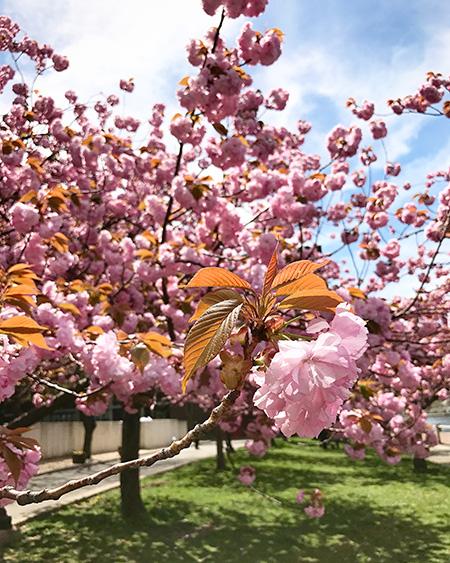 Viagem para Nova York: flores de cerejeira na Roosevelt Island | Cozinha do João