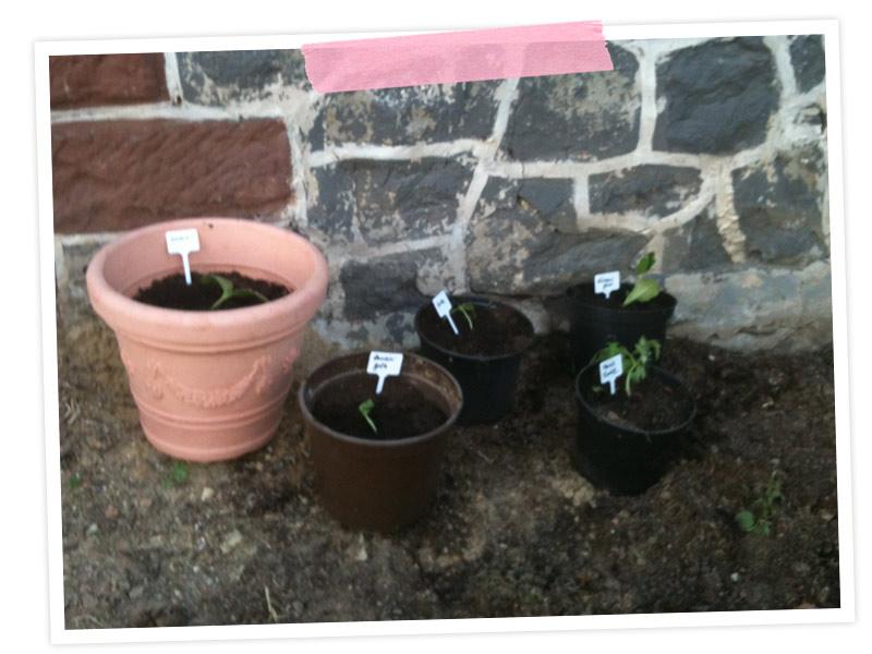 Frei nach Inga von Glomerylane einen Topfgarten angelegt, der mit umziehen kann! Damit ich im Herbst nicht auf Zucchini verzichten muss ;-)