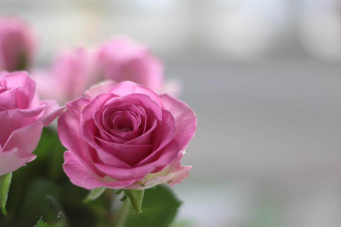 Ich hab Rosen gekauft, die Tulepnzeit ist ja leider vorbei