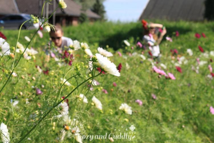 Vorher mussten wir aber noch ganz ganz schnell an einem Feld für Blumen-Selbstpflücker anhalten.