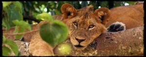 Tree-Climbing-Lions-ofUganda-Ishasha