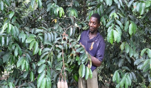 A farmer inspects a tree on an experimental farm.  (Photo credit: Ngala Chimtom