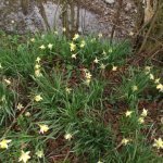 daffodils by the River Char