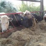 Cows at the silage feeder