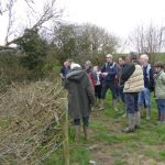 MAGICAL MARSHWOOD PROJECT – HEDGEROW OAKS AND WILD DAFFODILS