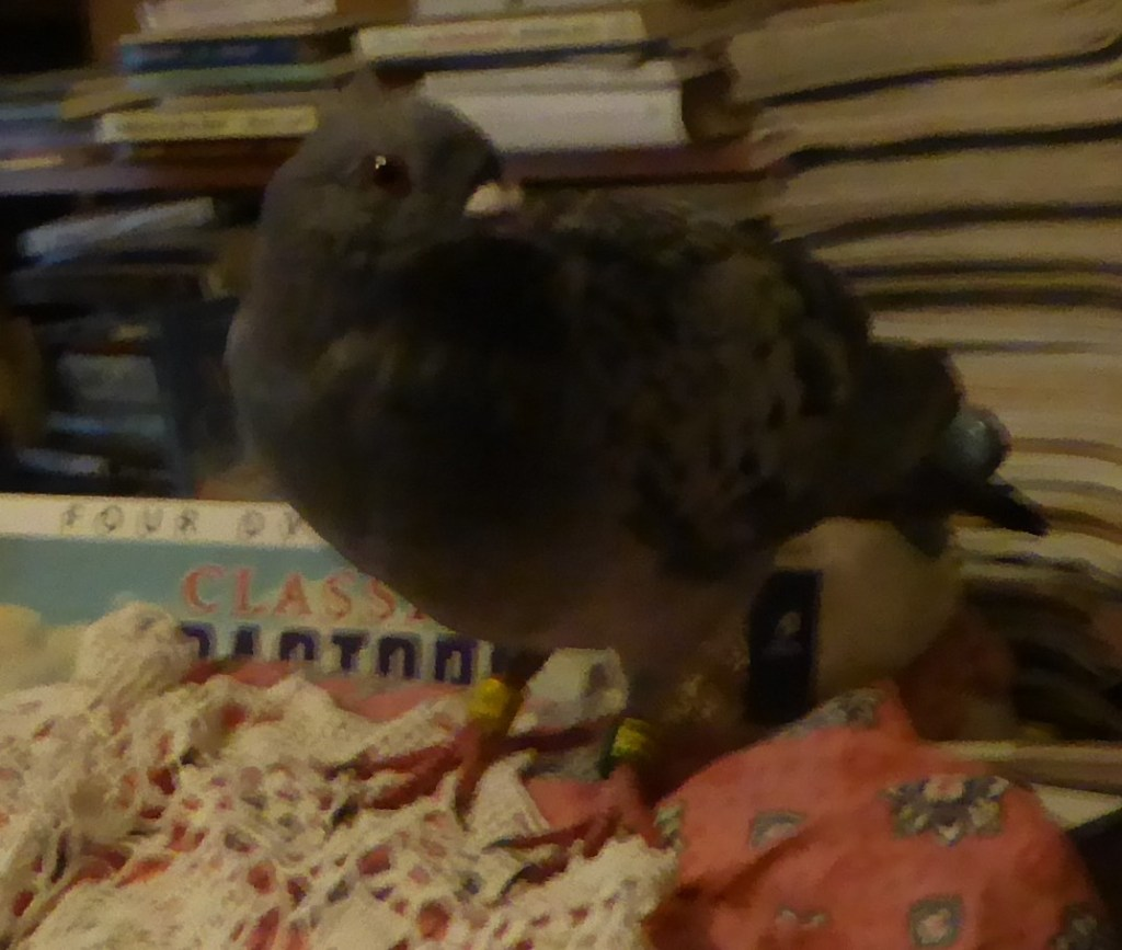 PERCY THE RACING PIGEON