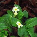 Primrose in November - Crabbs Bluntshay Farm