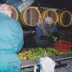 Sorting apples for cider making