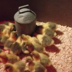 1st drink for 2 day old goslings