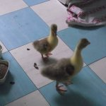 One gosling refuses to grow