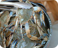 One Half Dozen Live Colossal Maryland Blue Crabs ( Male