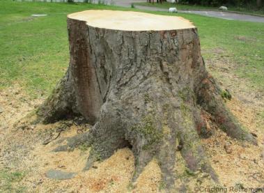 Cracking Retirement - Tree Stump