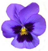 A freshly pressed flower