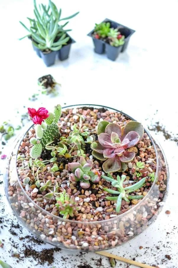 DIY Indoor Succulent Garden plants in green and red in clear bowl