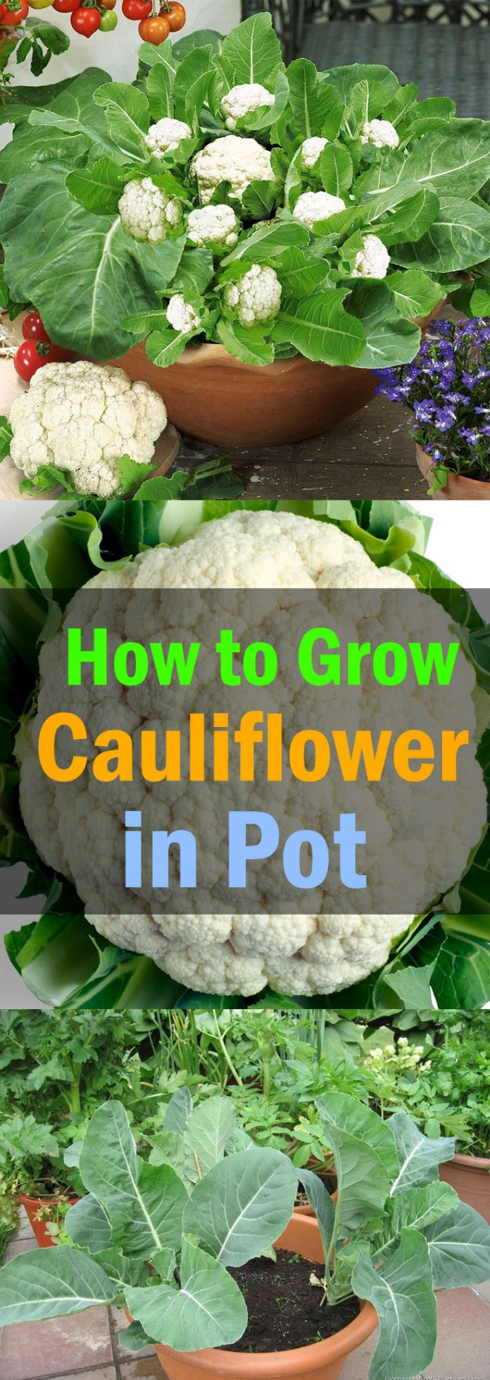 growing cauliflowers in container
