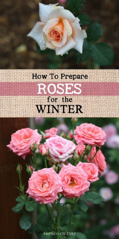 How to prepare roses for winter?