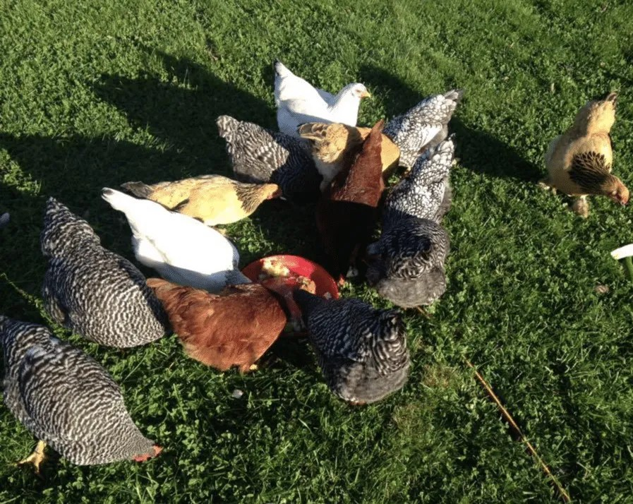 Wandering Brook Farms - pastured poultry & eggs