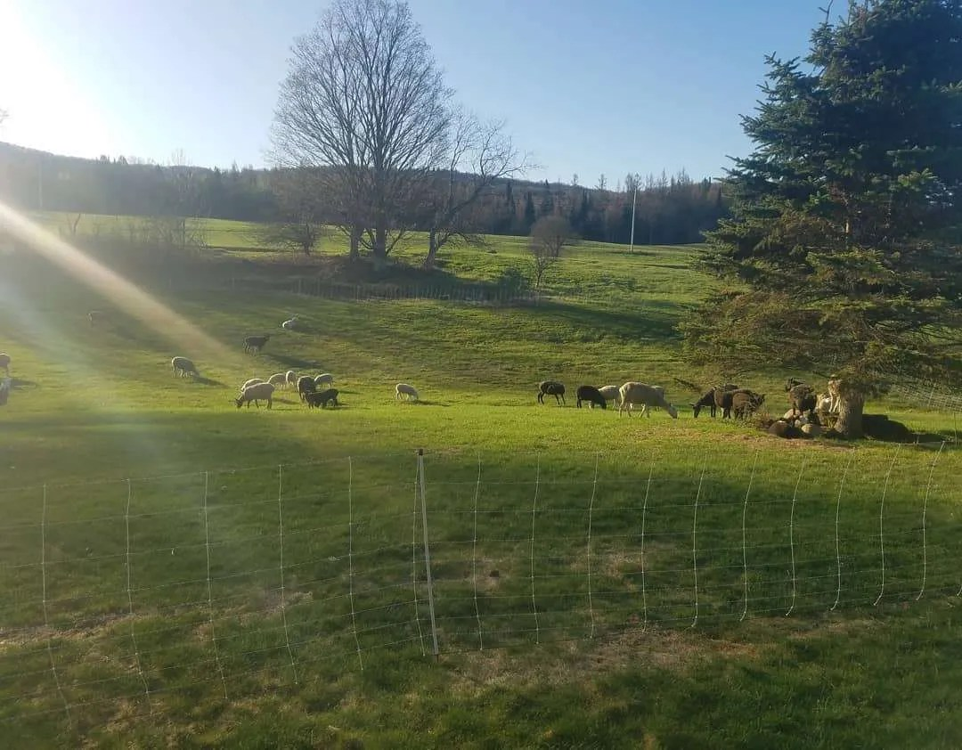 Cloverworks Farm - pasture season begins - Albany, VT