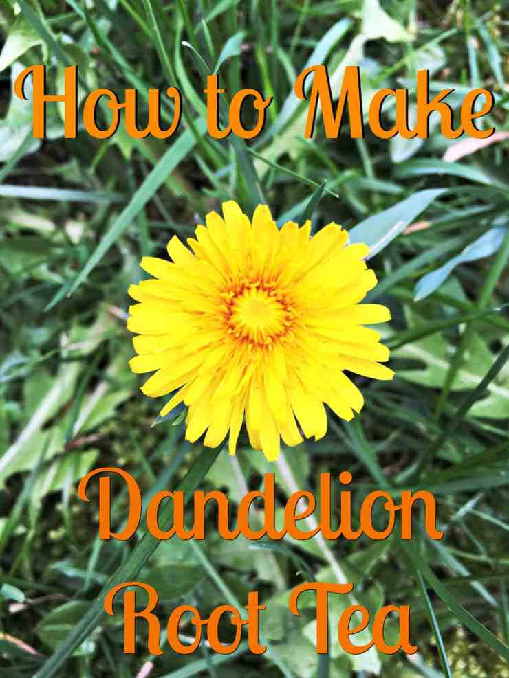 dandelionroottea