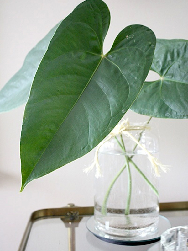 Anthurium leaves in a vase, photo