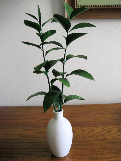 Ruscus branches in a vase, photo