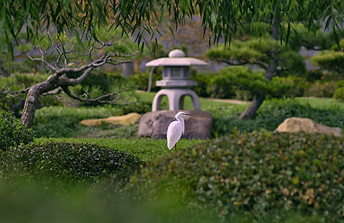 Egret in japanese Garden
