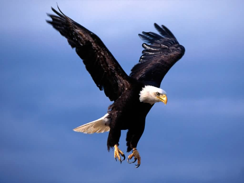 Bald_Eagle-Fearsome_Flight-1024x768